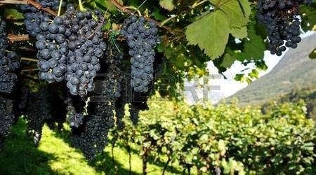 11256662-una-imagen-de-la-vina-con-uvas-frescas-de-color-azul