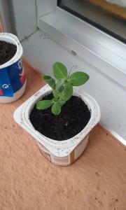 Guisante plantado en el cole de Goian.
