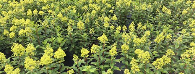 cultivo de paniculata