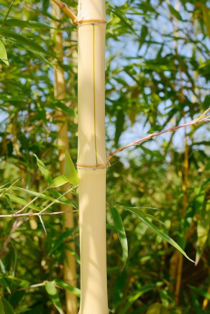 Acubam conociendo nuestros cultivos hoy hablamos del bamb acubam - Cultivo del bambu ...