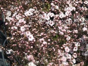 Viveiro Corema es productor de planta arbustiva con flor