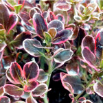 coprosma pacific dawn